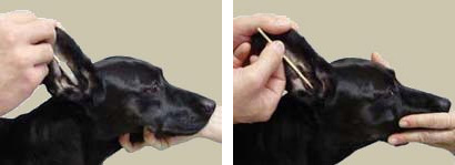 Dog Ear Cleaning With BambooStick