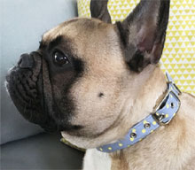 grey dog collar with yellow dots