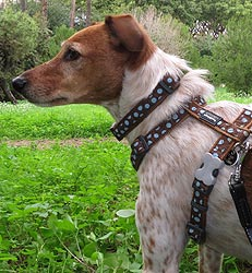 red dingo dog harness brown with blue spots