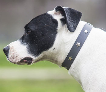 grey leather dog collar with star studs