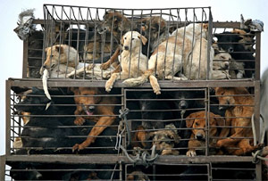 China dog meat trade