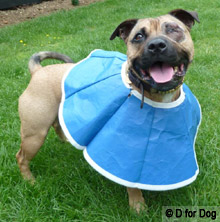 dog in a soft recovery collar in reverse