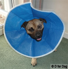 dog wearing a soft blue recovery collar