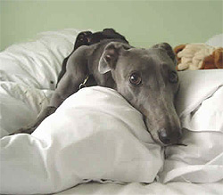 Greyhound relaxing at home