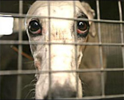Greyhound racing is cruel