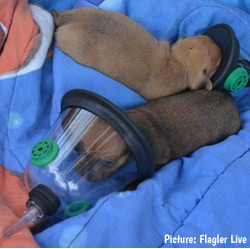 puppies in pet oxygen masks