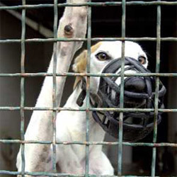 Racing greyhound in cage and muzzle