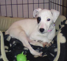deaf Parson Russell Terrier