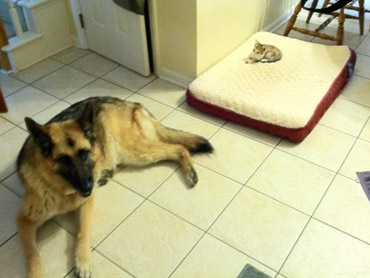 tiny cat on dogs bed, dog on the floor