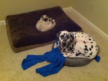 big dog in small bed