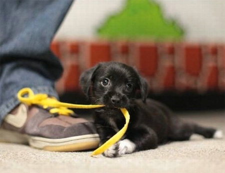 puppy chewing shoe lace