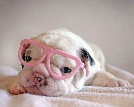 cute puppy in pink sunglasses