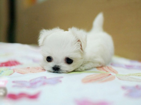 very cute little white puppy