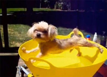 funny little dog tries to avoid bath water