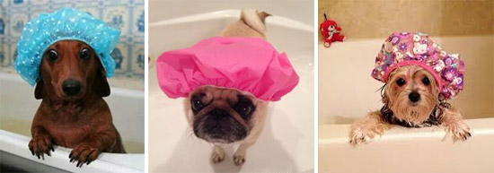 dogs in shower caps