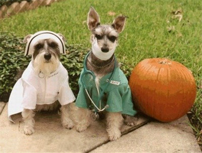 funny halloween dog doctor and nurse with pumpkin