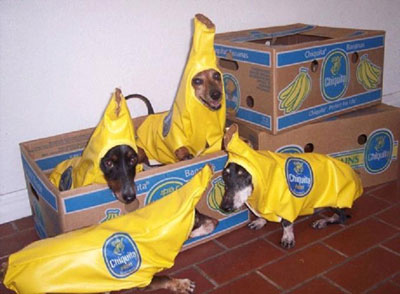 funny dogs dressed as bananas