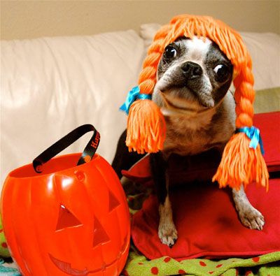 funny halloween pic dog in wig