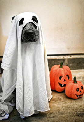funny halloween pic dog ghost