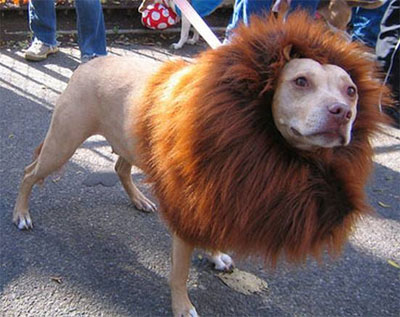 funny pic of dog as a lion