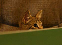 cat hiding behind sofa